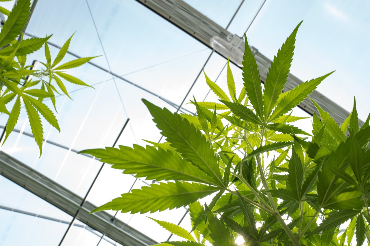 legalisation of the cannabis plant The court ruled in august that a federal rider blocks federal officials from prosecuting state-legal marijuana of legal regulation of the plant.