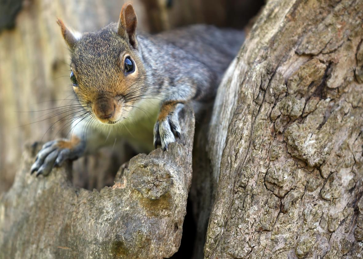 167267329-squirrel-looks-from-a-tree-in-royal-victoria-park-on