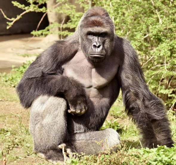 Gorilla Shot at Cincinnati Zoo After Child Falls Into Enclosure