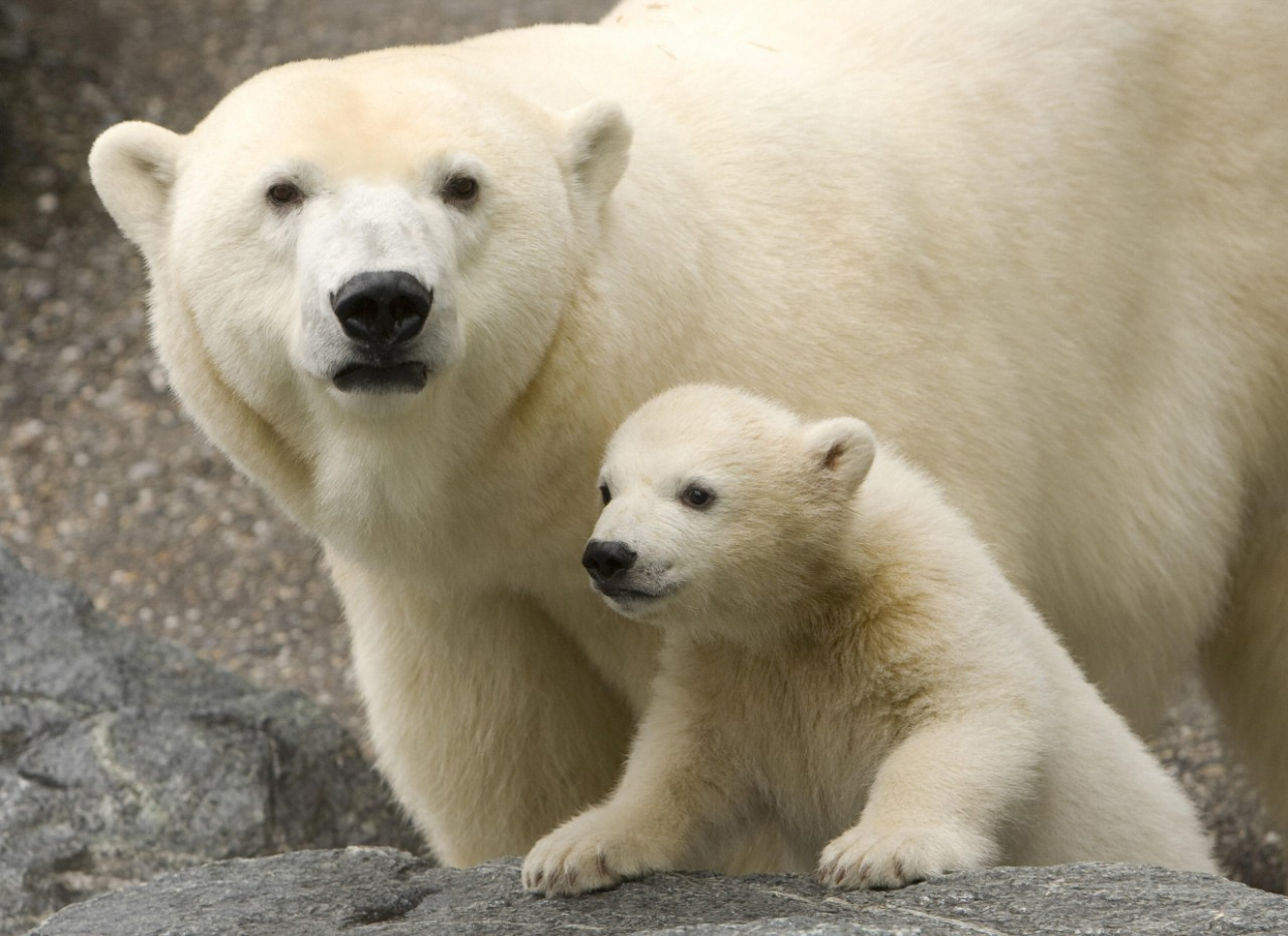 coke�s polar bears film adorable but the biology is all