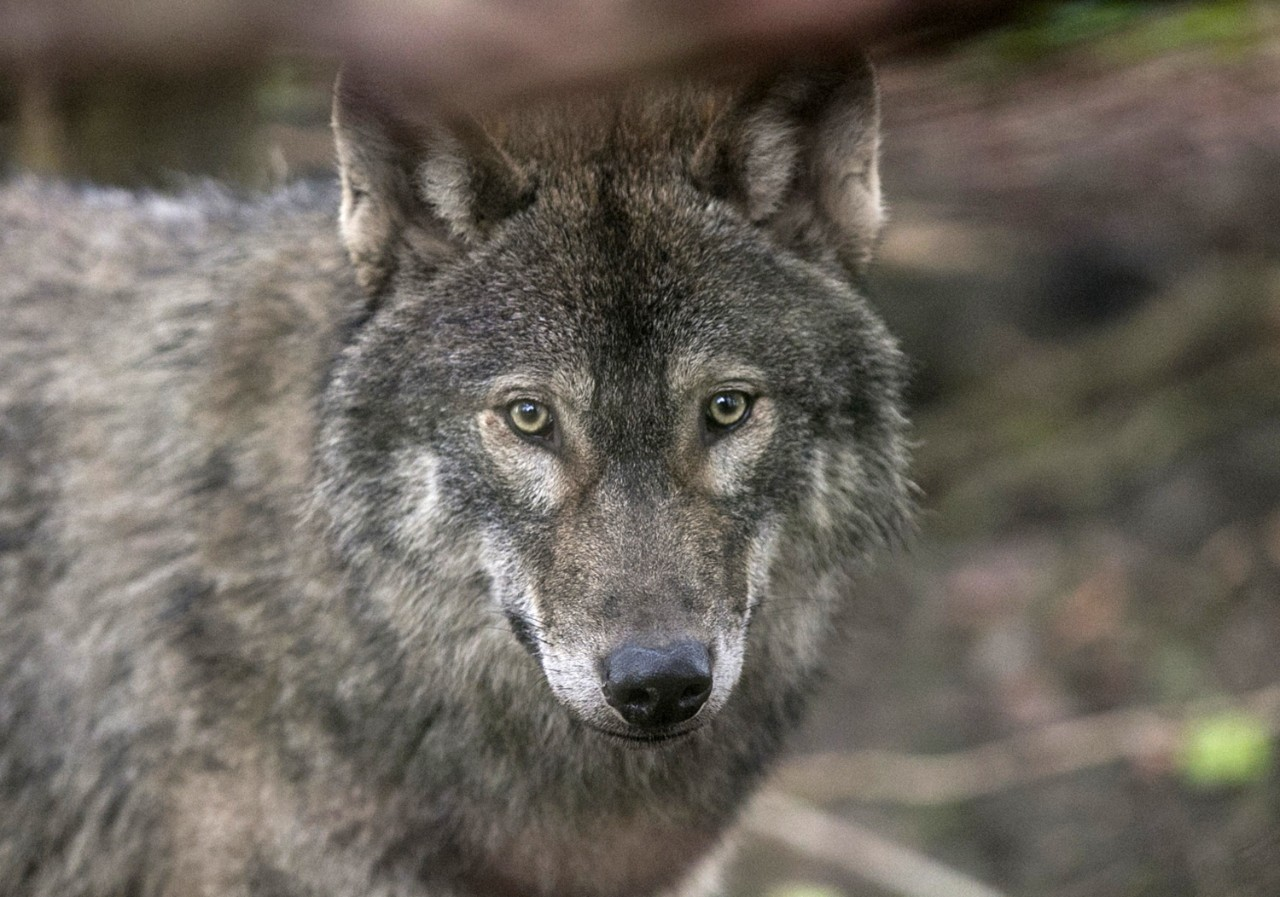 Wolves: Why Do Wolves Howl? Wolves Do Not Howl At The Moon