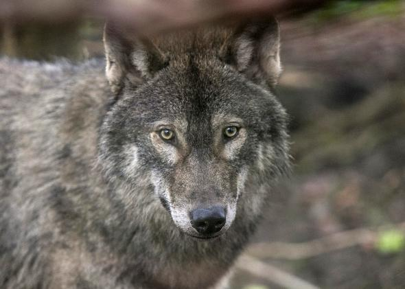 478405249-young-male-wolf-one-of-five-that-has-recently-arrived