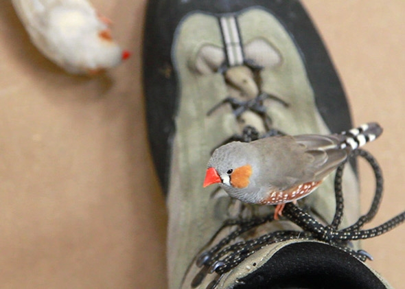 A finch on a shoe.