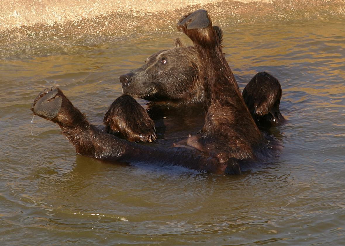 135773602-young-brown-bear-cools-itself-in-a-pool-of-the-attica