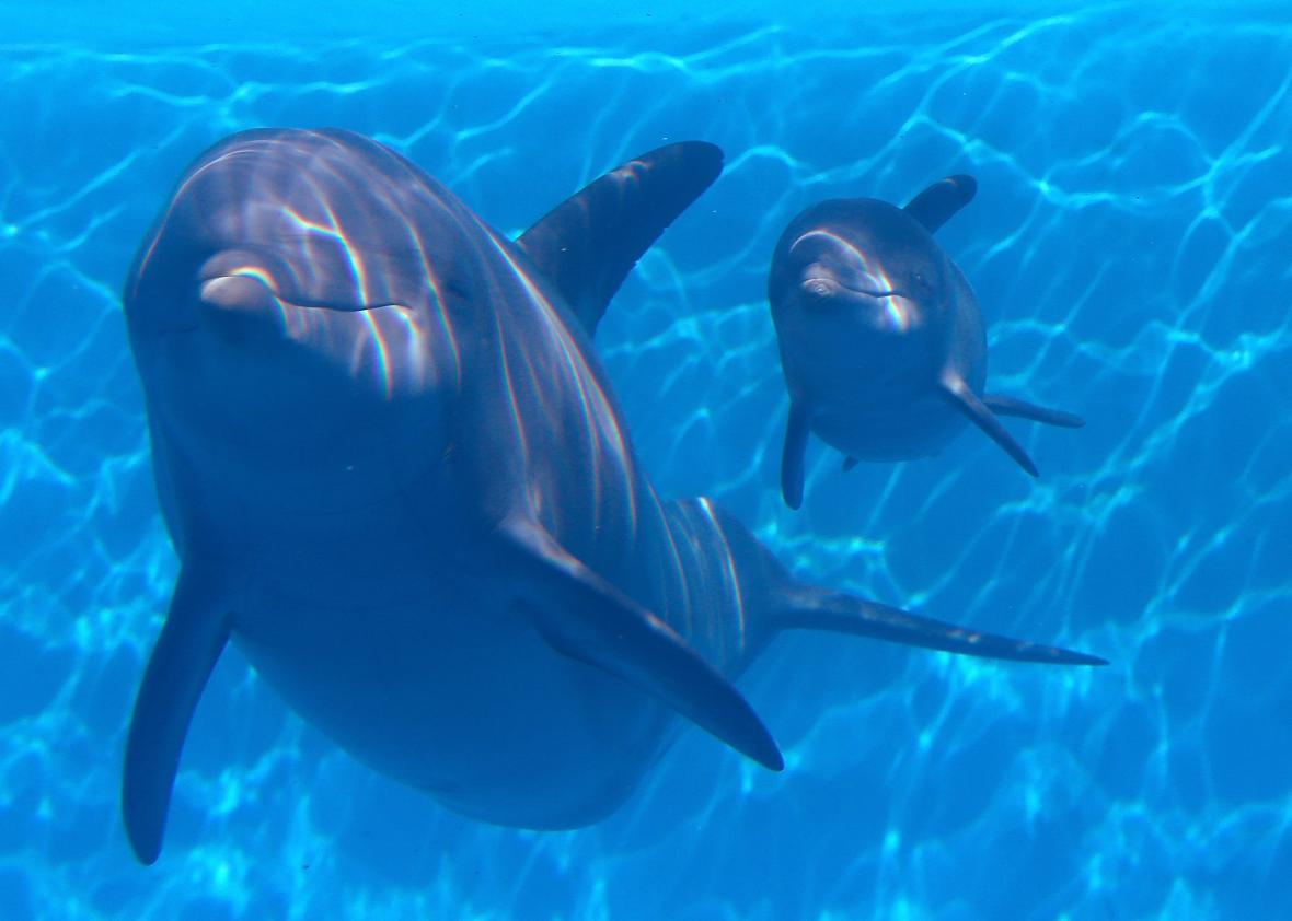 463332477-bella-a-bottlenose-dolphin-swims-in-a-pool-with-her-new