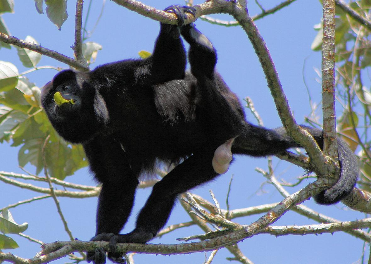 Some howler monkeys have huge balls, others have loud calls.