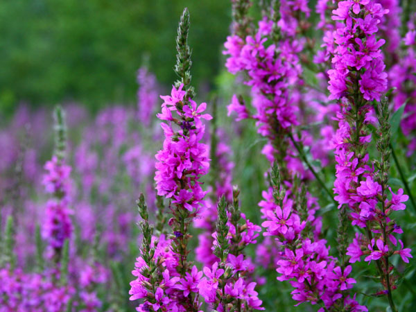 images%2Fslides%2F4-purple-loosestrife