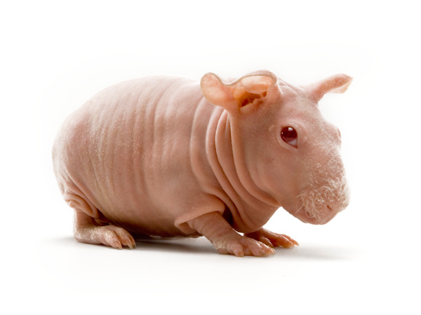 images%2Fslides%2Fmouse9_hairless-guinea-pig