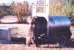 A grizzly in a culvert trap. Photo taken at the Grizzly and Wolf Discovery Center.