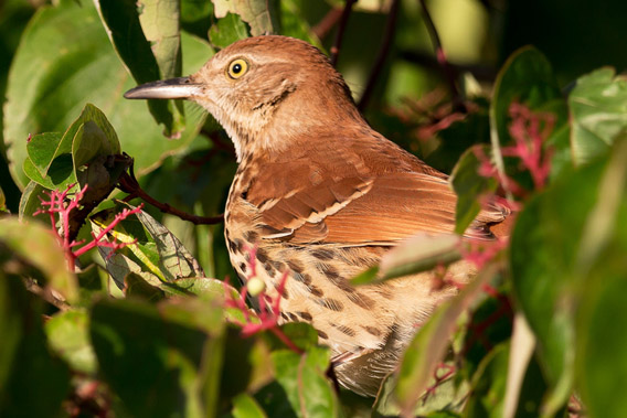 Brown Thrasher.