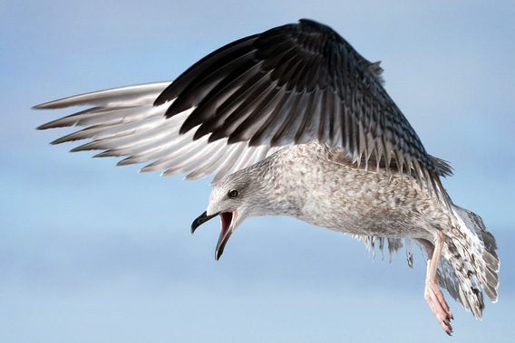 Glaucous-winged Gull (Larus glaucescens).