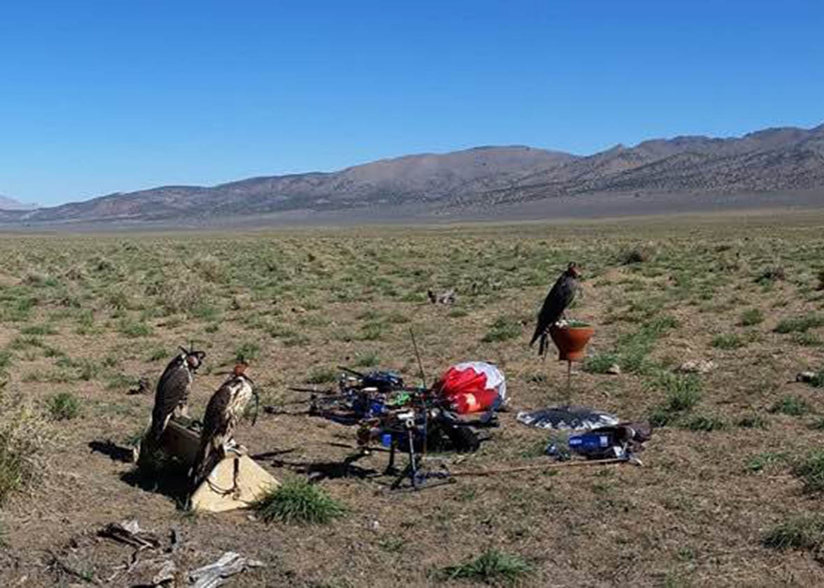 Training falcons with drones in Nevada.